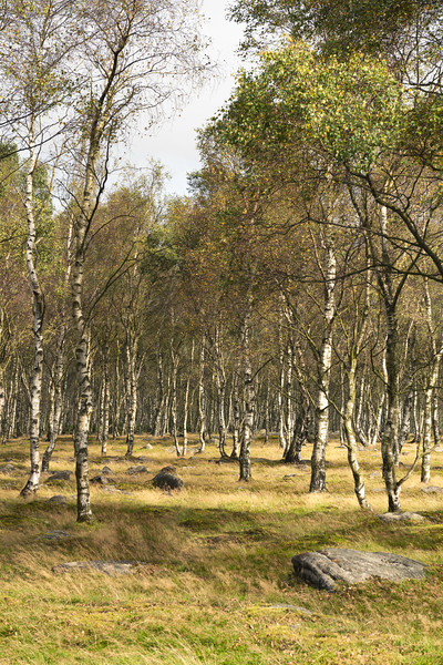 Silver Birch Trees in the Peak District