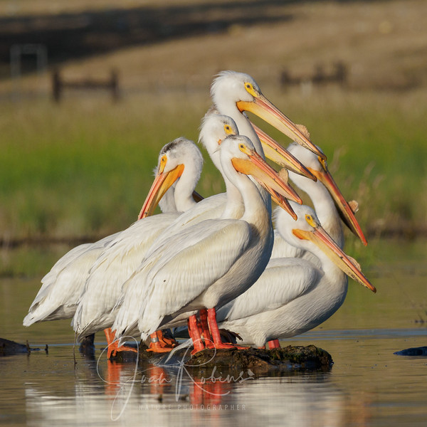 A Pile of Pelicans