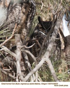 Great Horned Owl A80523psd.jpg