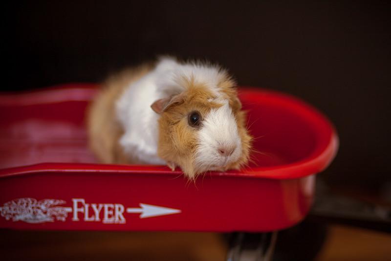 Ginea Pigs-20.jpg