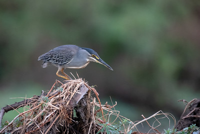 Heron, Green-backed (spp. atricapilla)