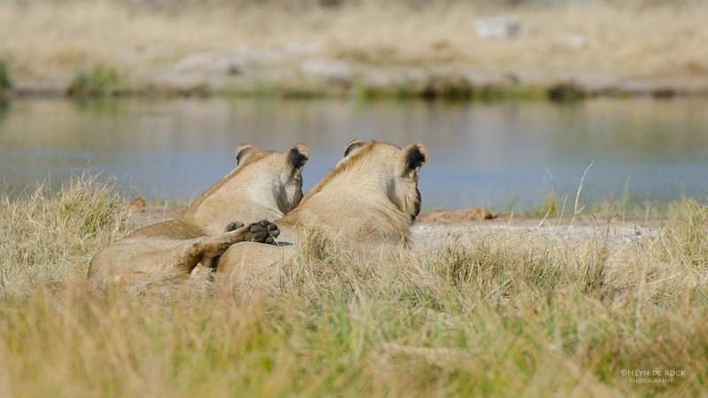 African Lion, Etosha NP, Namibia, July 2011-1.jpg