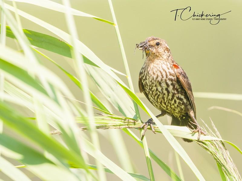 Red-Winged Blackbird Immature-1531688094505.jpg