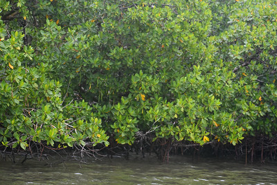 9AM Mangrove Tunnel Kayak Tour - Wills & Miller