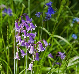 Hyacinthacées