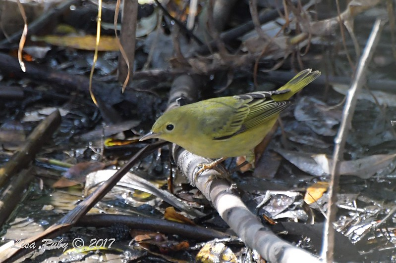 Yellow Warbler - 10/10/2017 - Famosa Slough south