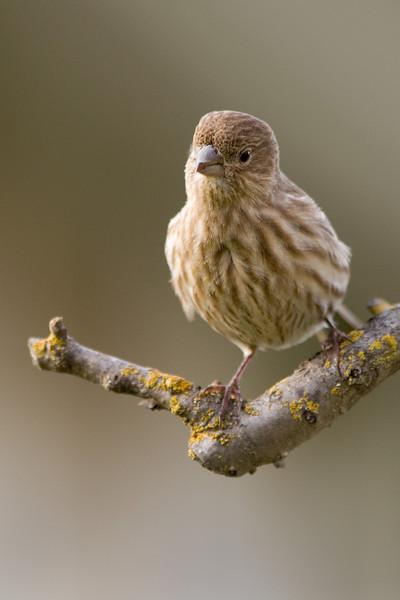 Fluffy the Finch