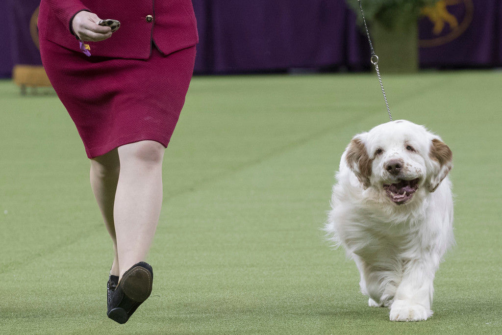 . Angus, a Clumber spaniel, competes in the sporting group during the 142nd Westminster Kennel Club Dog Show, Tuesday, Feb. 13, 2018, at Madison Square Garden in New York. (AP Photo/Mary Altaffer)