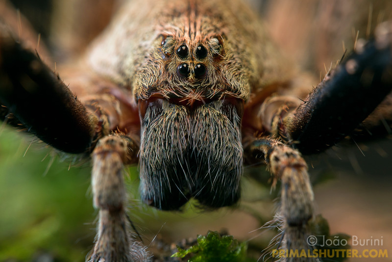 Frontal portrait of a wandering spider