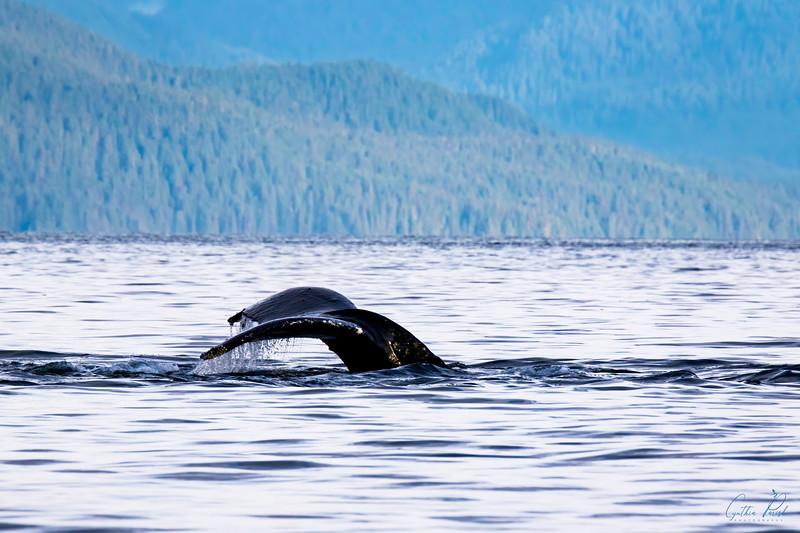 Whale_Juneau Alaska_Fluke_664A7216.jpg