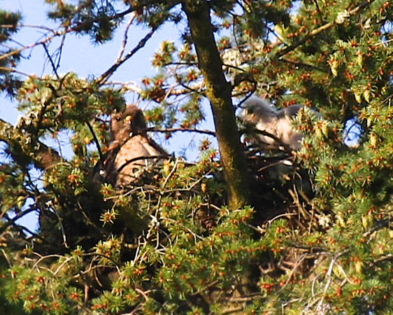 May 14, 2012 Awwwwww...look at the baby on the right hand side.  Mama is in the nest to the left