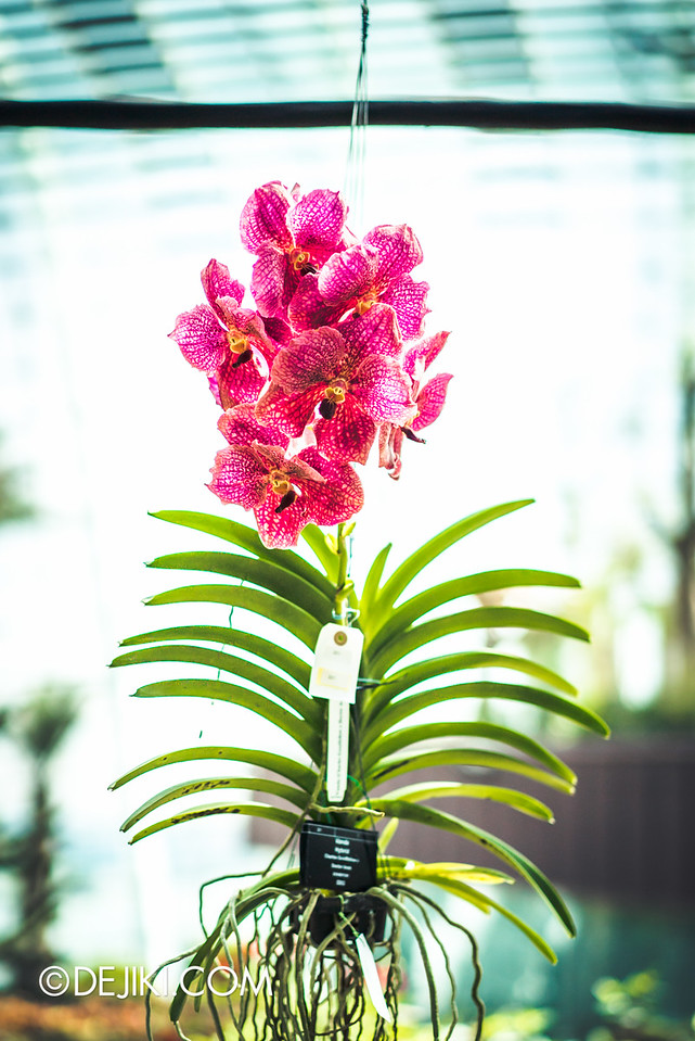Gardens by the Bay - Orchid Extravaganza 2016 - hanging red