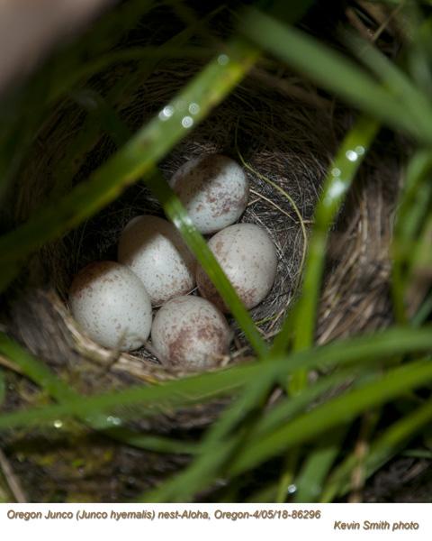 Oregon Junco nest 86296.jpg