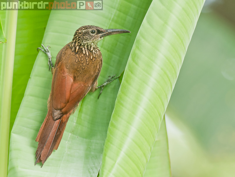 Cocoa Woodcreeper (Xiphorhynchus susurrans)
