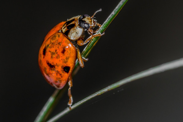 Ladybirds (Coccinellidae)
