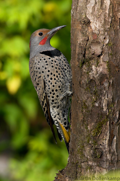 Northern Flicker Male Intergrade Yellow Shafted