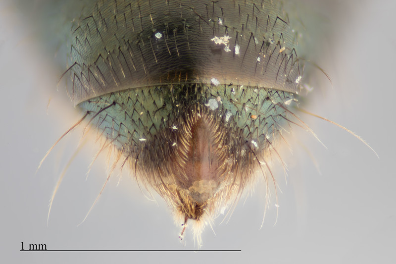 Homalictus atritergus female