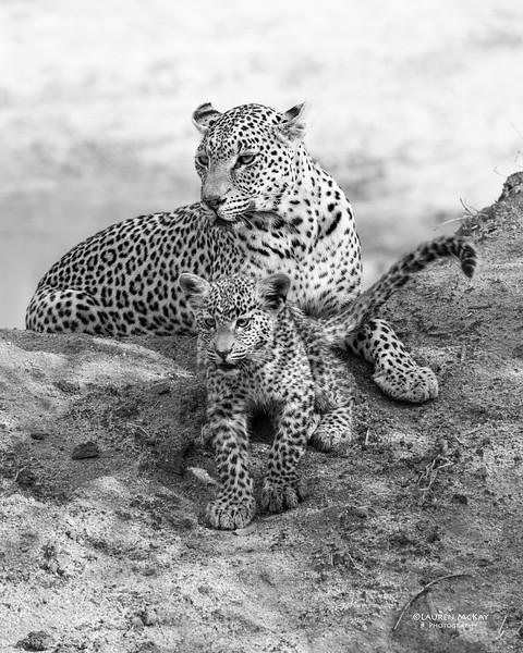 Leopard (Salayexe & cub), Sabi Sands (EP), SA, Sept 2015b&w.jpg