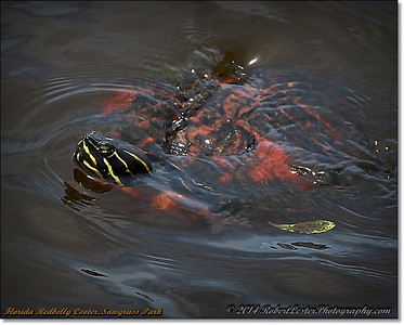 Florida Pond cooter turtle