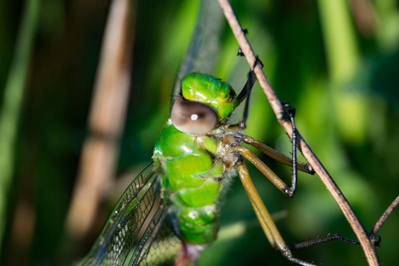 green-darner-dragonfly-ohio-profile-spingfieldBog3.jpg