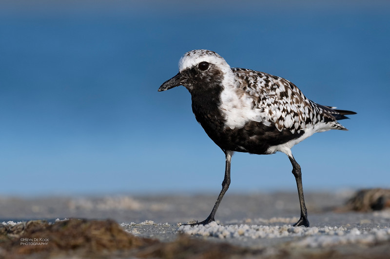 Grey Plover, Fort De Soto, St Petersburg, FL, USA, May 2018-8.jpg