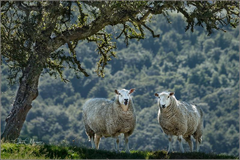 JM8_0359 Sheep LPN W.jpg