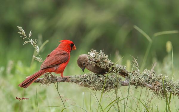 Cardinal King.jpg