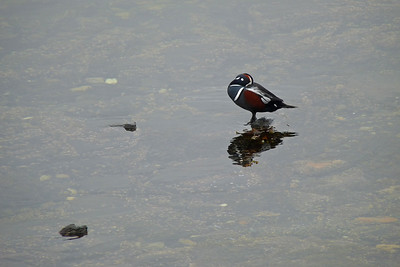 DAY 278 - October 5, 2011 - Male Harlequin Duck Cynthia Meyer, Tenakee Springs, Alaska