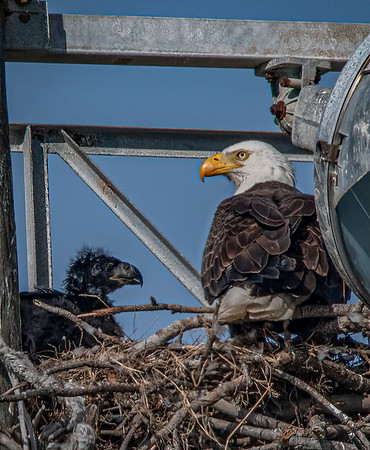 Bald Eagle Nest BE994 - March 13, 2021
