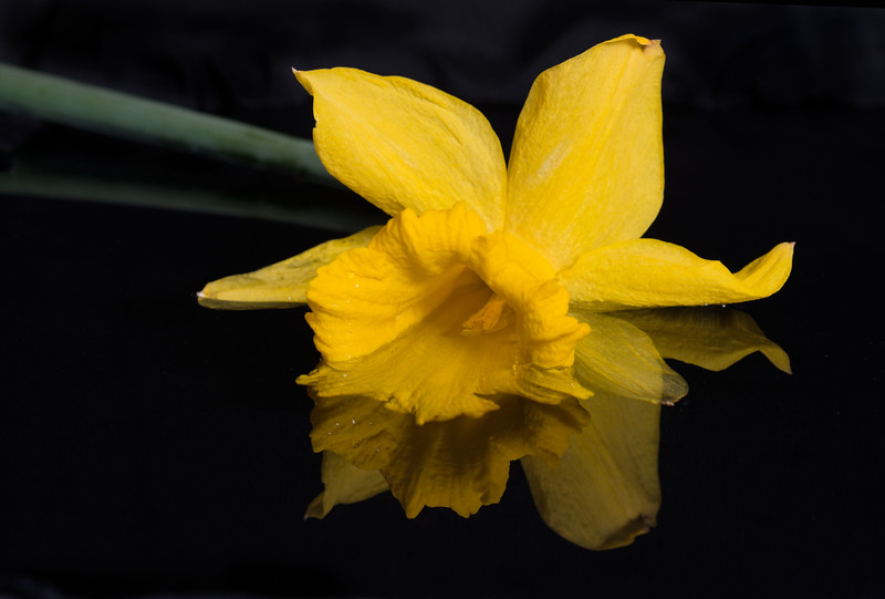 Yellow Daffodil in the water Nikon D800e 85mm Micro-Nikkor PC