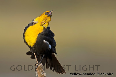 Yellow-headed Blackbird, Ridgefield National Wildlife Refuge, USA