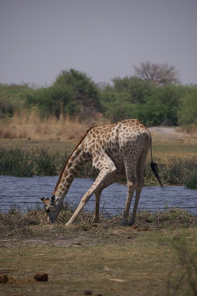 Giraffes at watering hole, Selinda Explorer camp, Botswana