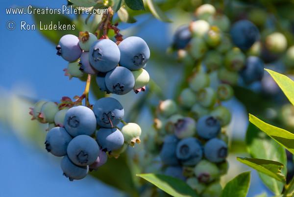 Georgia Gem Blueberry (Vaccinium hybrid)