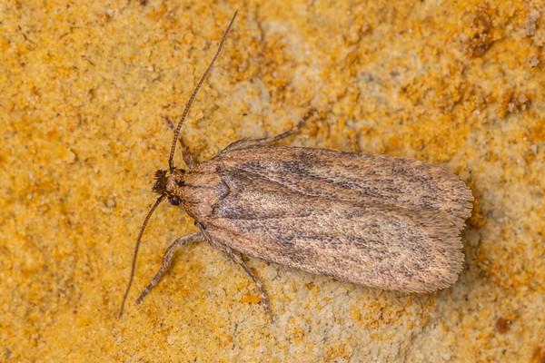Depressaria radiella - Parsnip webworm