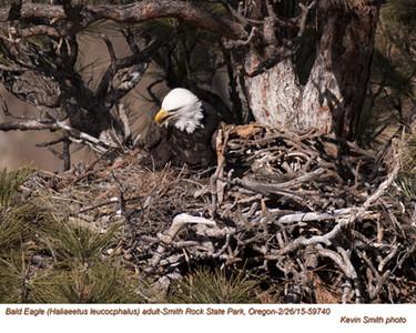 Bald Eagle F59740.jpg