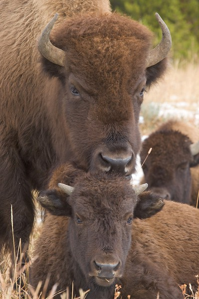 Bison father and son? [October; Yellowstone National Park, Wyoming]