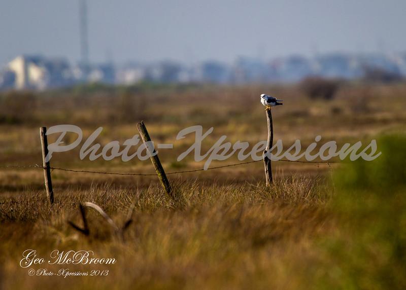 white tailed kite_6528.jpg
