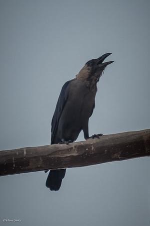 Crow, House (spp. protegatus)