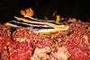 NUDIBRANCH -chromodoris magnifica-0714