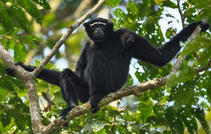 Man-of-the-forest-Hoolock-Gibbon-Assam.jpg
