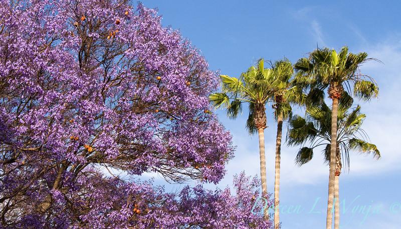 Jacaranda mimosifolia_056.jpg