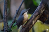 Nuthatch on a Wet Morning