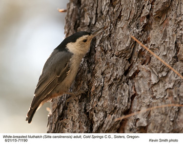 White-breasted Nuthatch A71190.jpg
