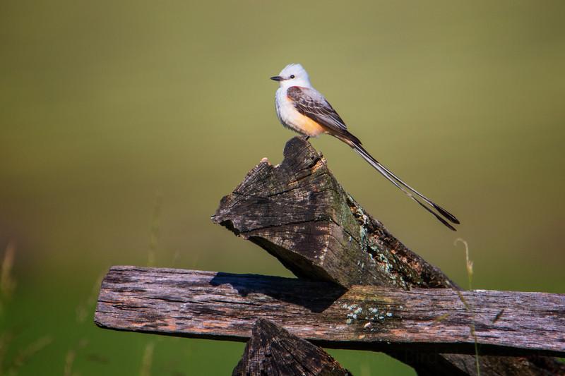 5.30.20 - Pea Ridge Military Park.  Scissor-tailed Flycatcher taking a break.