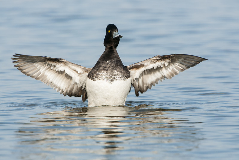 Lesser Scaup - Drake - Wing Flap