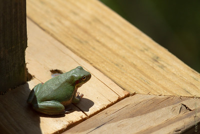 The Local Green Frog