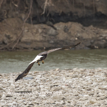 Scavenging Eagle-Slide Show