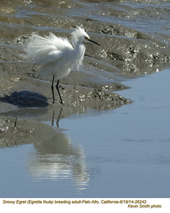 Snowy Egret A26142.jpg