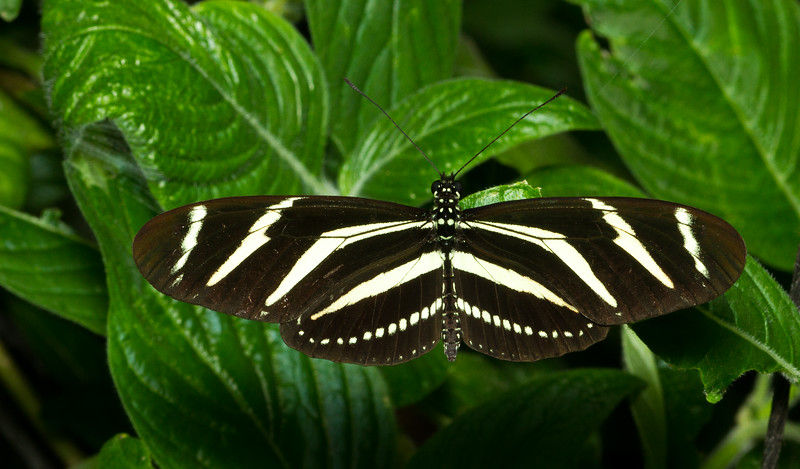 Zebra longwing, Heliconius charithonia, from Costa Rica.