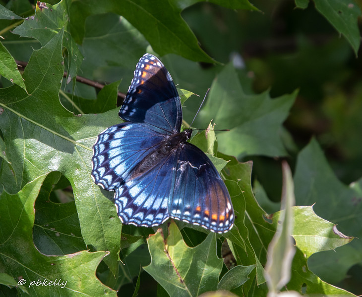 red spotted purple 090419-2.jpg